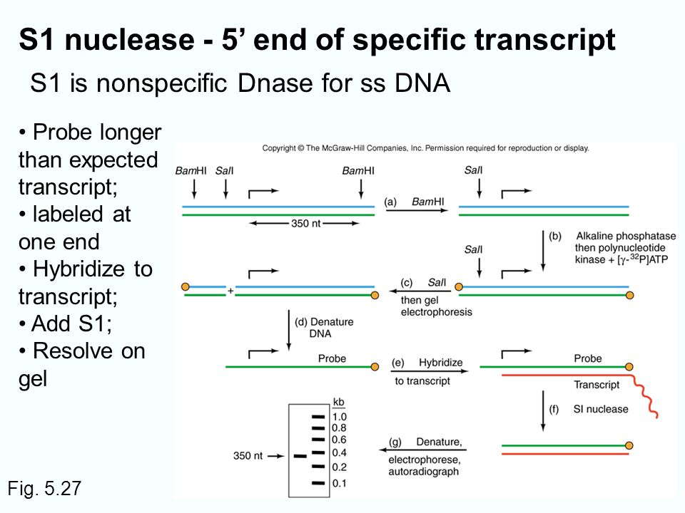 S1 nuclease - 5' end of specific transcript