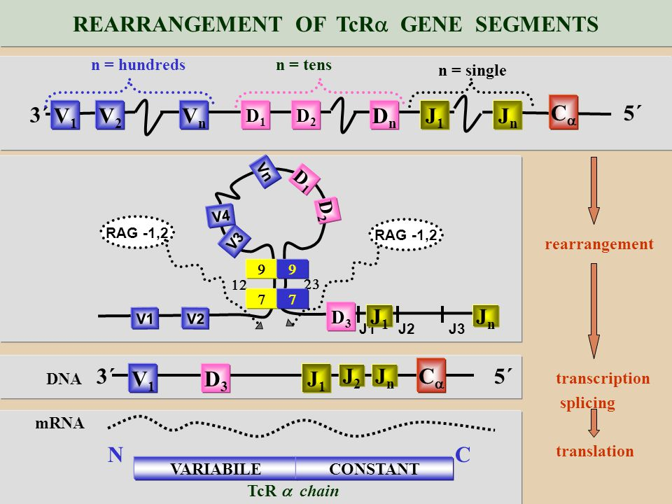 REARRANGEMENT OF TcR GENE SEGMENTS