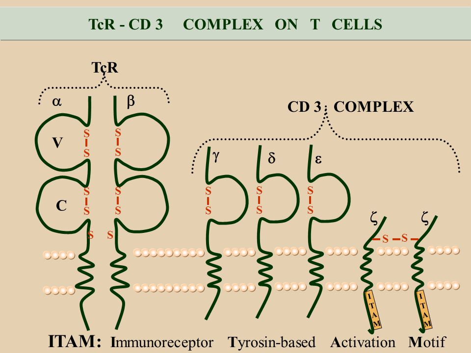 TcR - CD 3 COMPLEX ON T CELLS