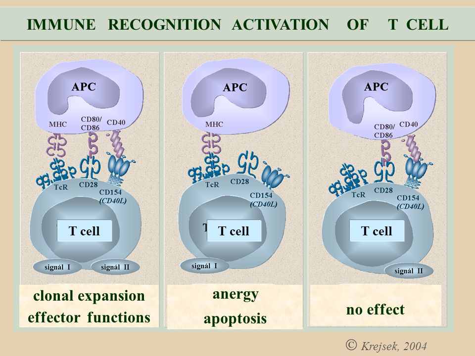 IMMUNE RECOGNITION ACTIVATION OF T CELL