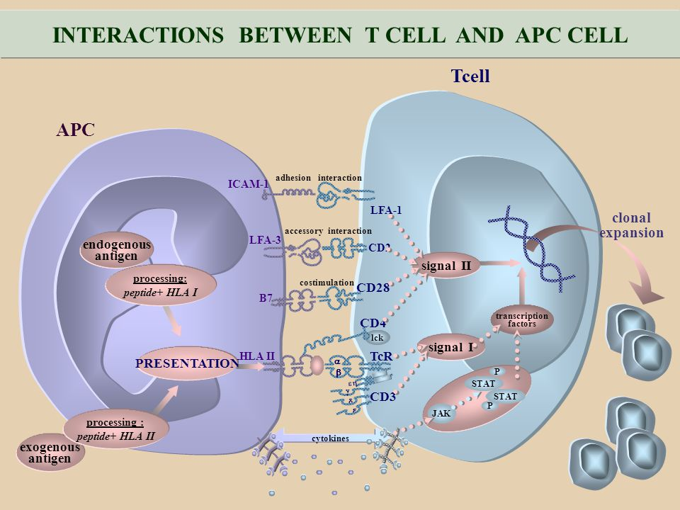 INTERACTIONS BETWEEN T CELL AND APC CELL