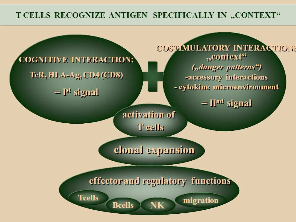 "clonal expansion ""context + = Ist signal = IInd signal activation of"