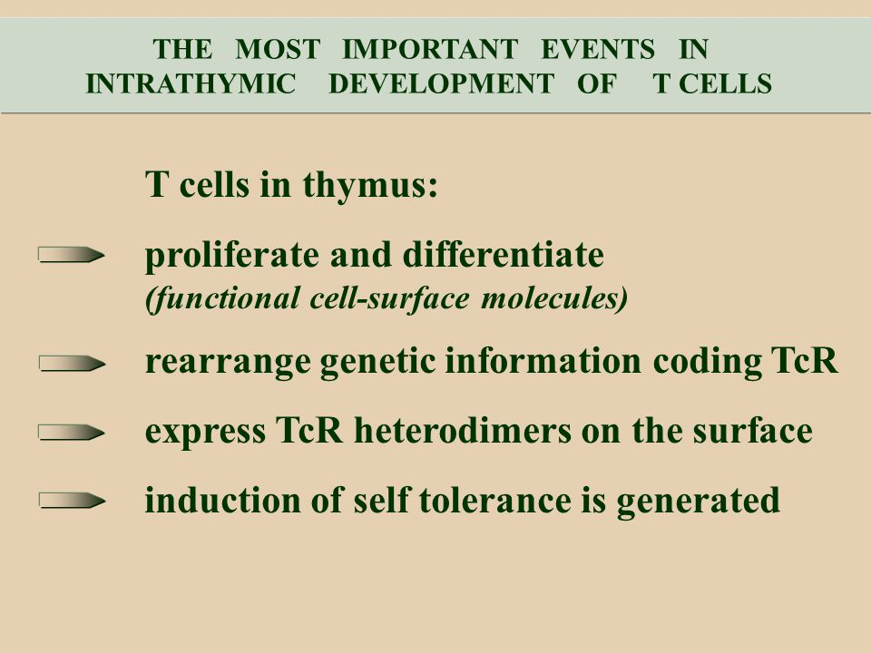 THE MOST IMPORTANT EVENTS IN INTRATHYMIC DEVELOPMENT OF T CELLS