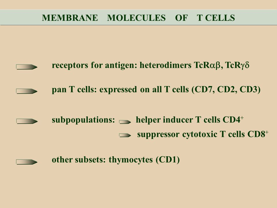MEMBRANE MOLECULES OF T CELLS