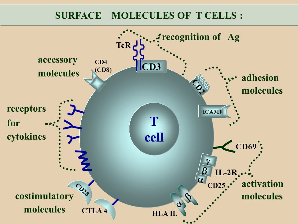SURFACE MOLECULES OF T CELLS :