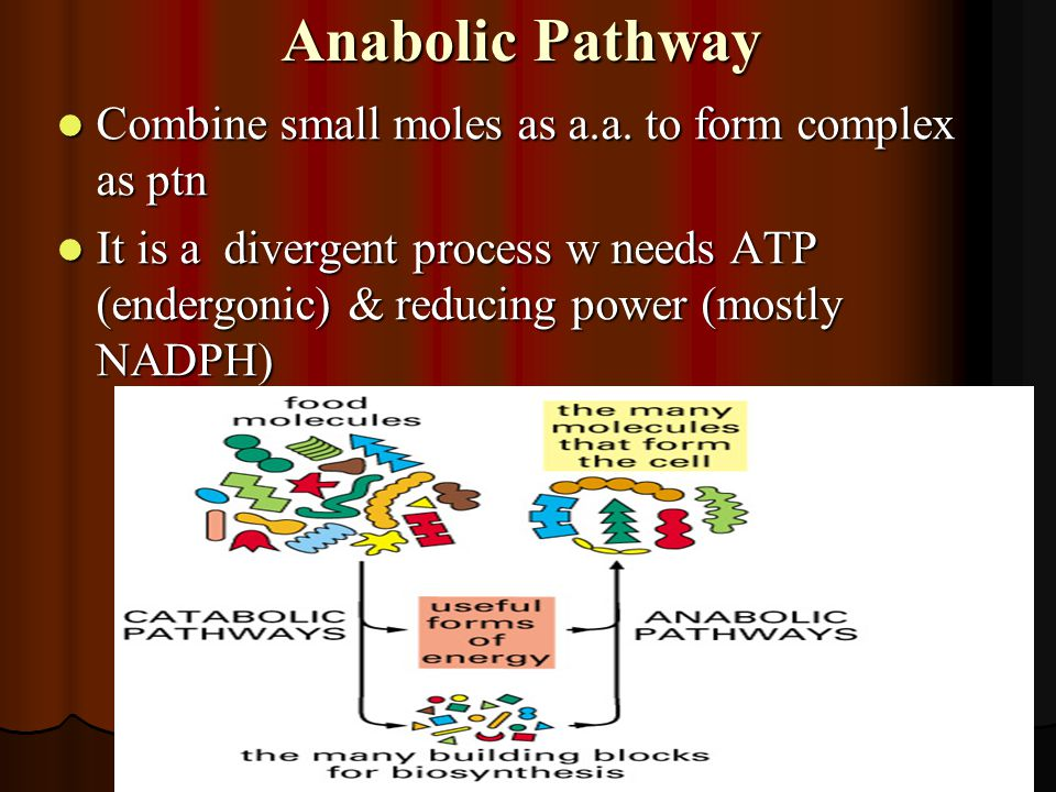 Anabolic Pathway Combine small moles as a.a. to form complex as ptn