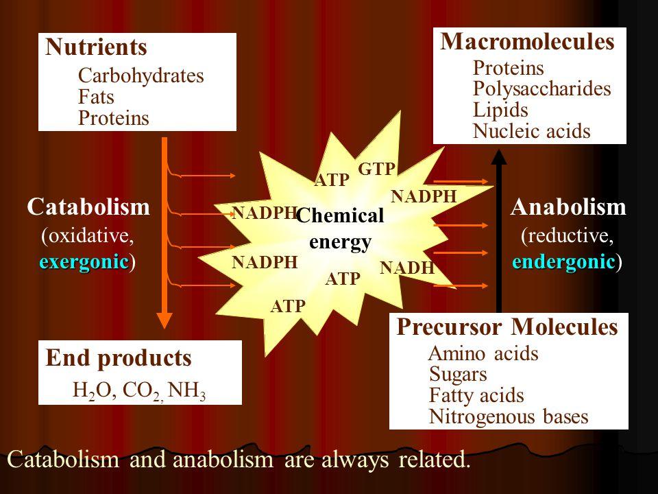 Catabolism(oxidative, exergonic) Anabolism (reductive, endergonic)