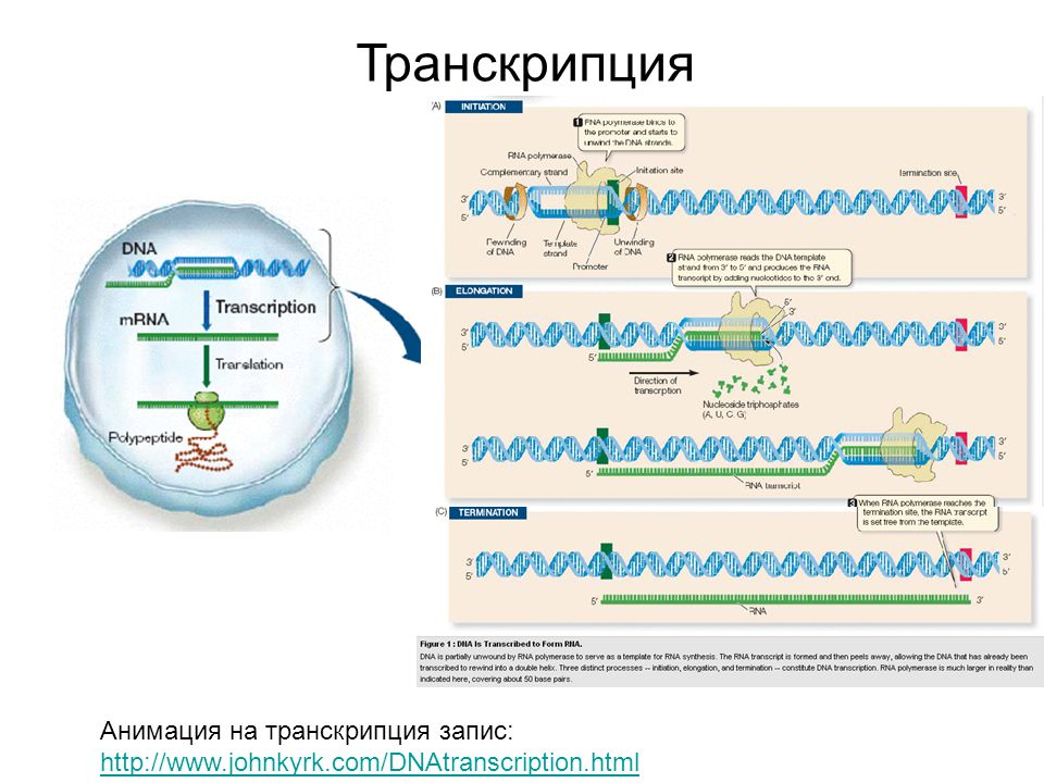 Транскрипция Анимация на транскрипция запис: http://www.johnkyrk.com/DNAtranscription.html