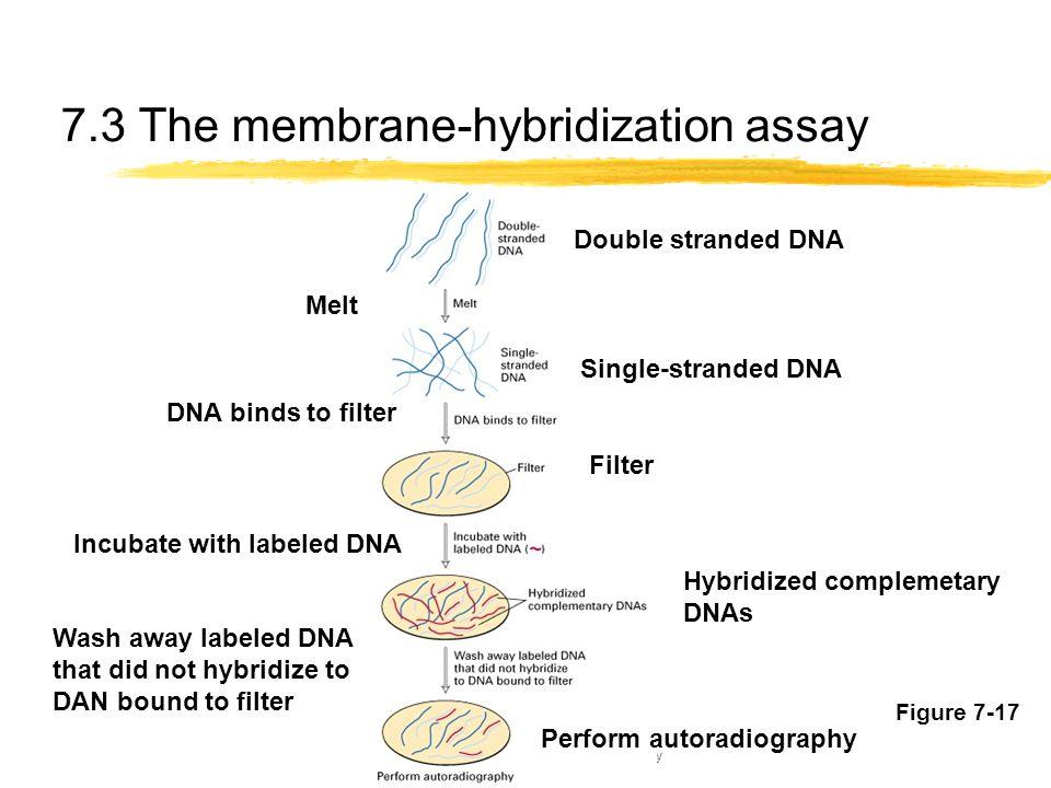 7.3 The membrane-hybridization assay