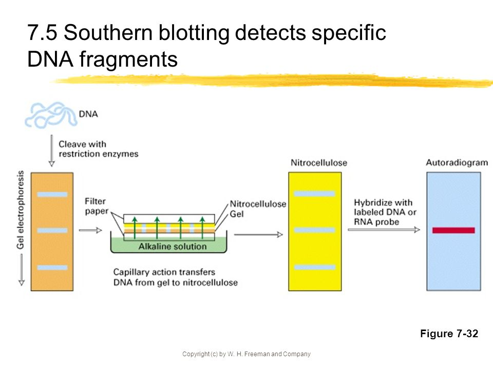 7.5 Southern blotting detects specific DNA fragments
