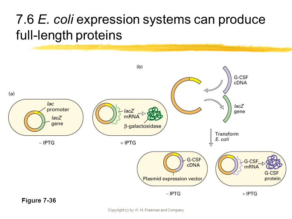 7.6 E. coli expression systems can produce full-length proteins