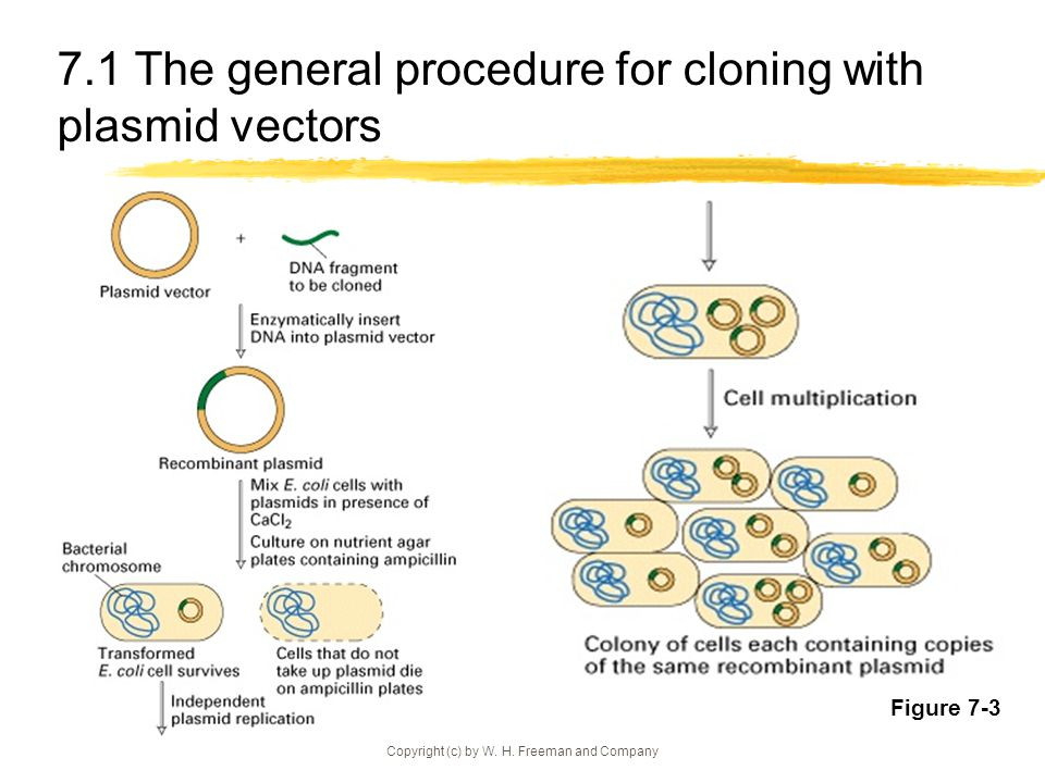 7.1 The general procedure for cloning with plasmid vectors