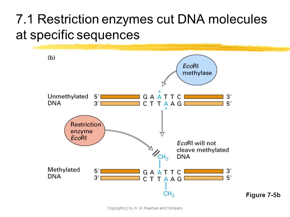 7.1 Restriction enzymes cut DNA molecules at specific sequences