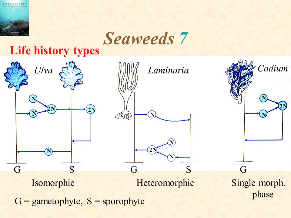 Seaweeds 7 Life history types Codium Ulva Laminaria G S G S G