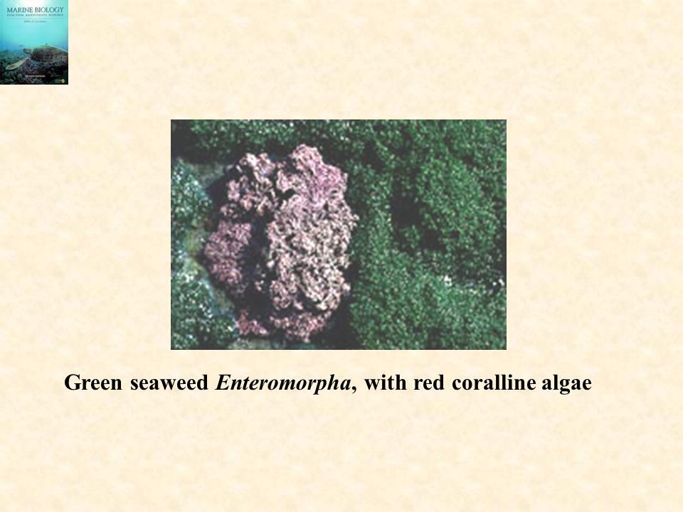 Green seaweed Enteromorpha, with red coralline algae