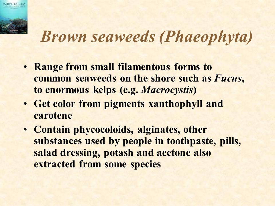 Brown seaweeds (Phaeophyta)