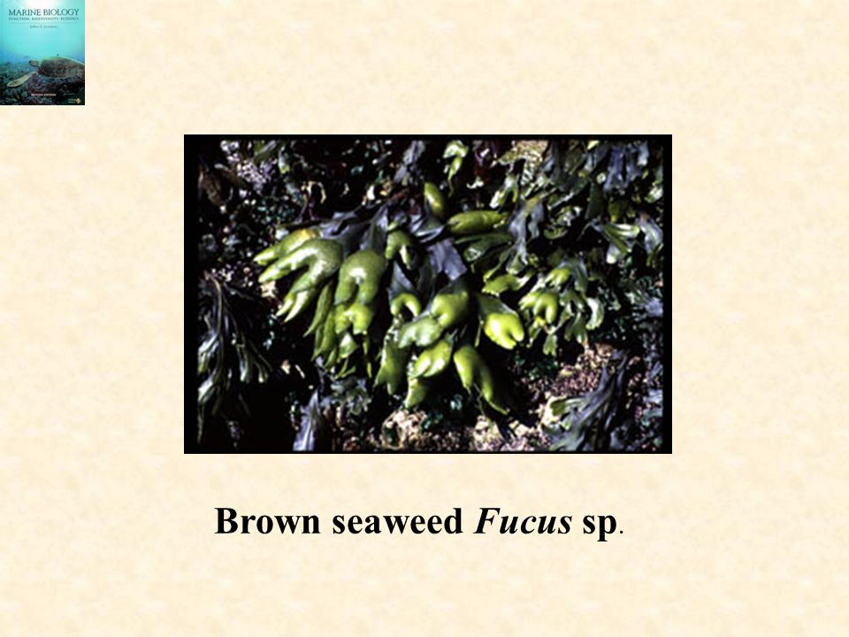 Brown seaweed Fucus sp.