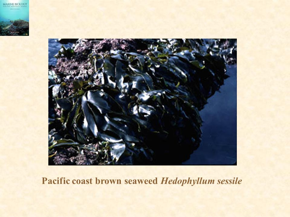 Pacific coast brown seaweed Hedophyllum sessile