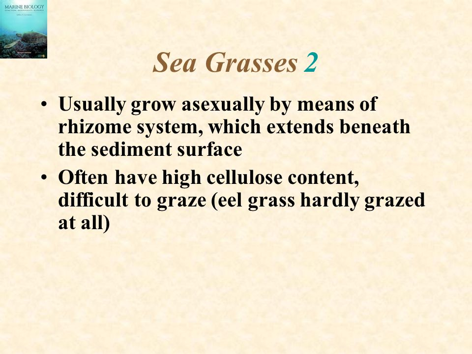 Sea Grasses 2 Usually grow asexually by means of rhizome system, which extends beneath the sediment surface.