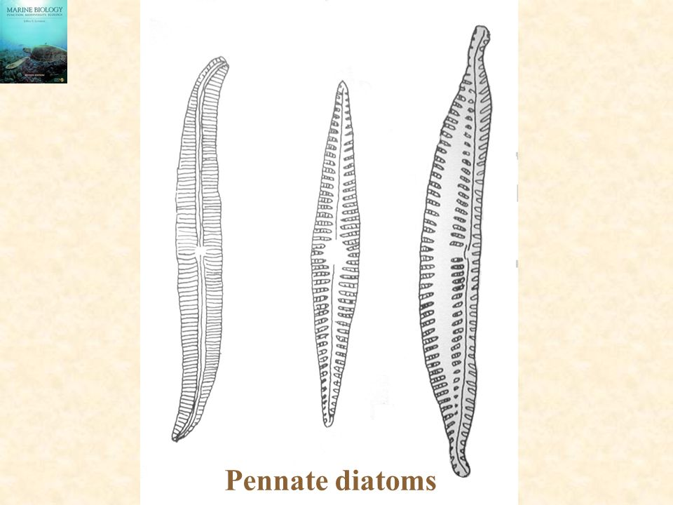 Pennate diatoms