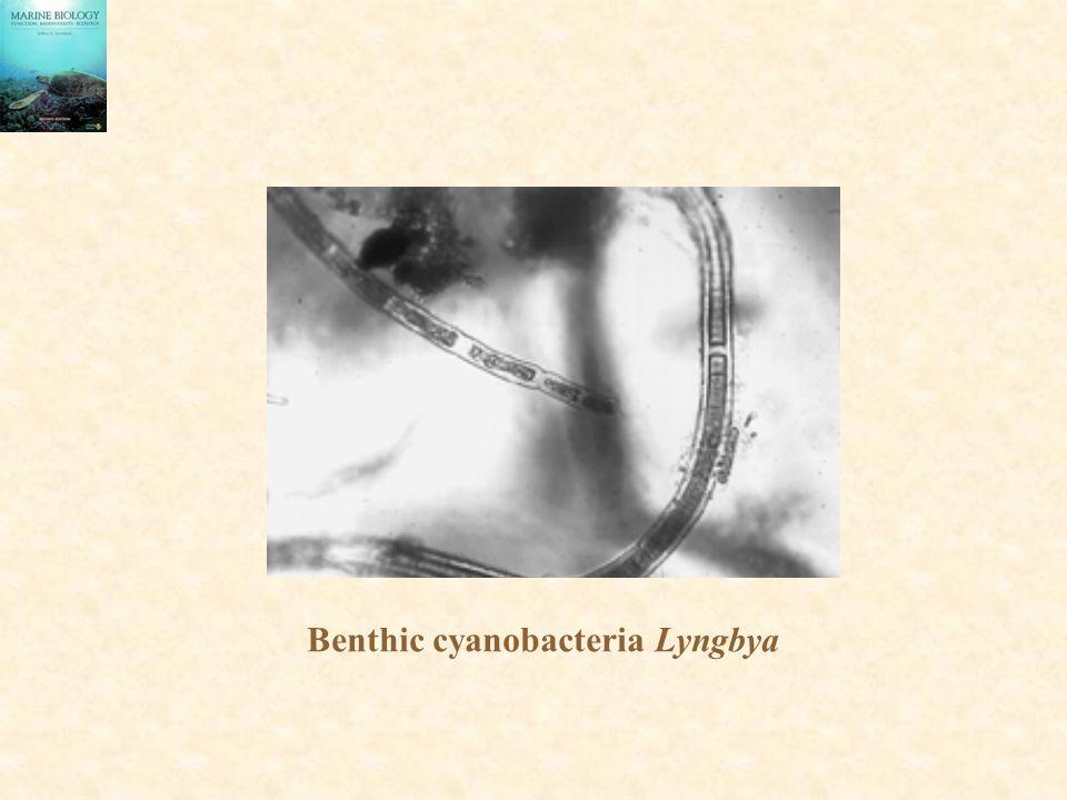 Benthic cyanobacteria Lyngbya