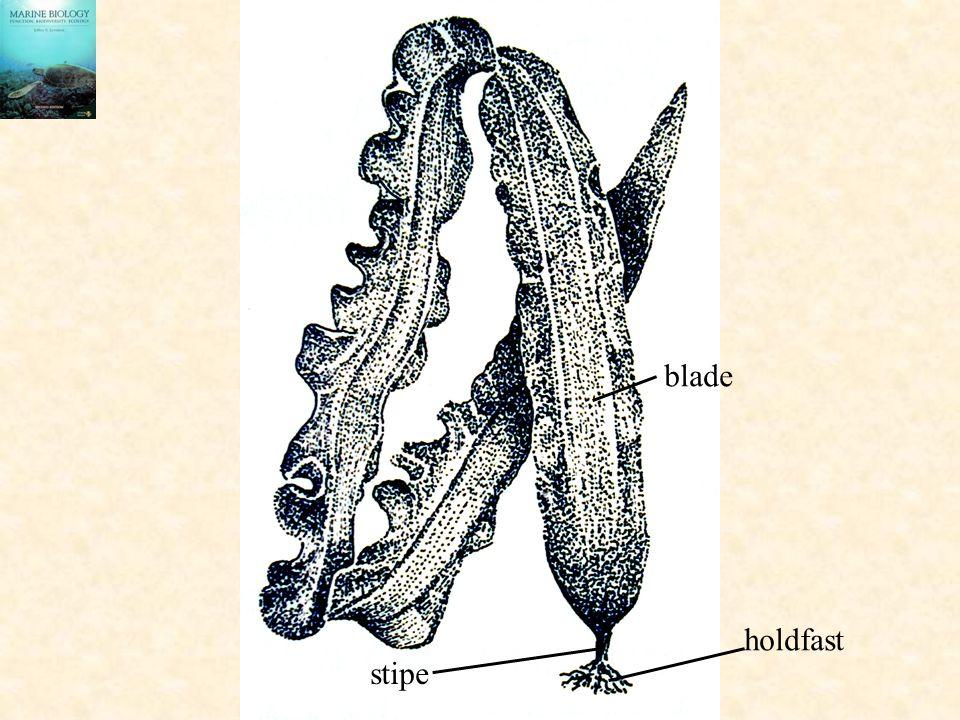 blade holdfast stipe