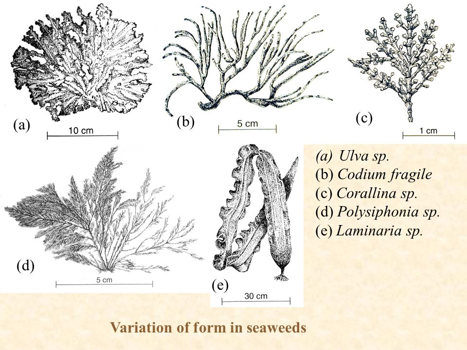 Variation of form in seaweeds