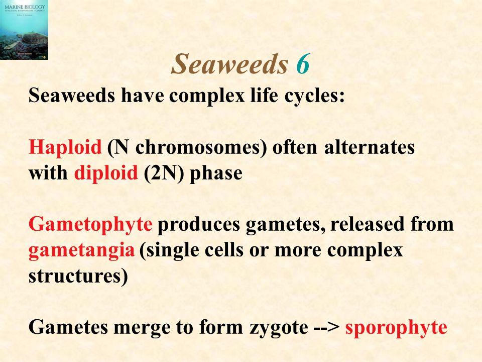 Seaweeds 6 Seaweeds have complex life cycles: