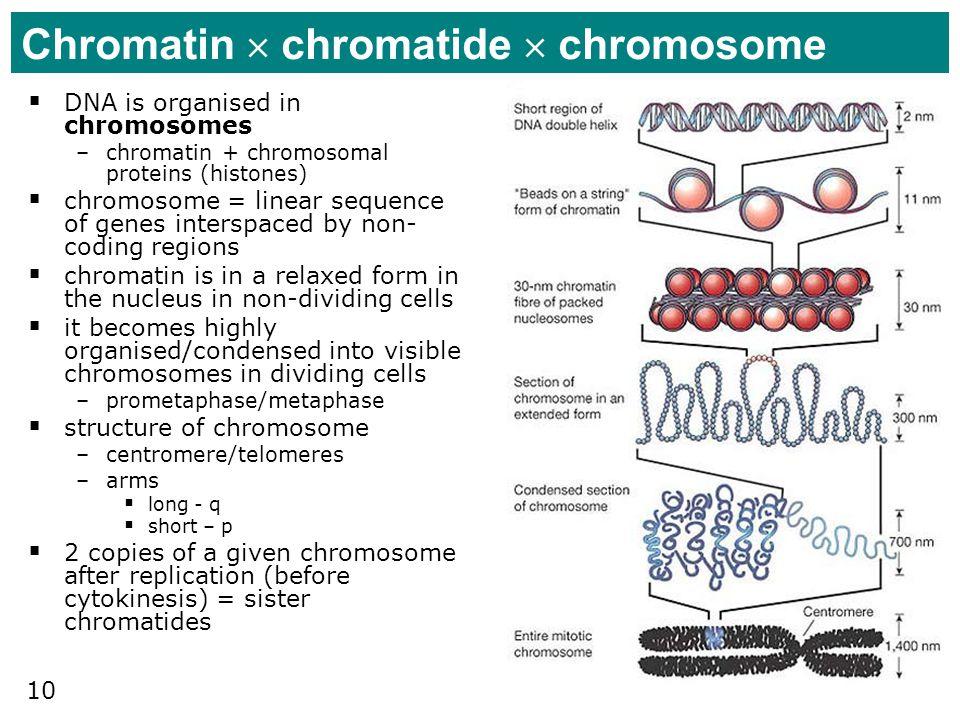 Chromatin  chromatide  chromosome