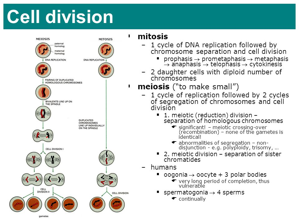 Cell division mitosis meiosis ( to make small )