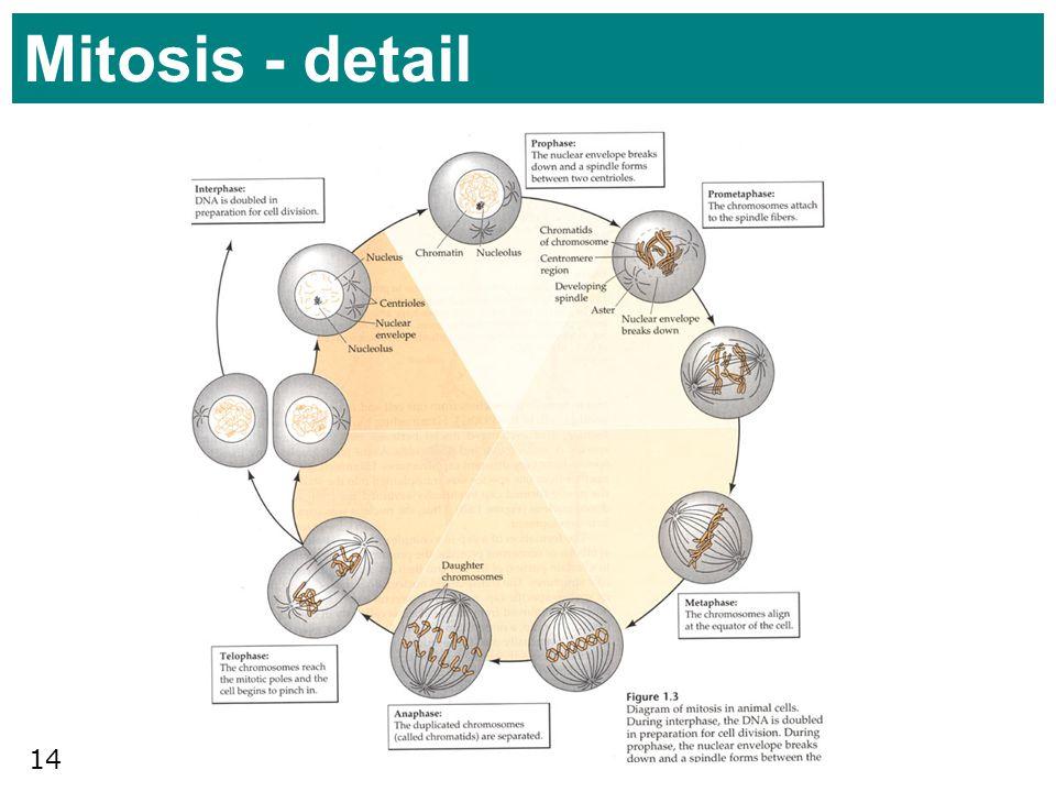 Mitosis - detail