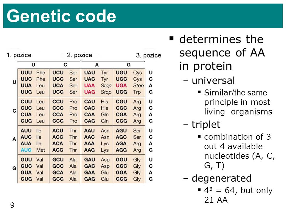 Genetic code determines the sequence of AA in protein universal