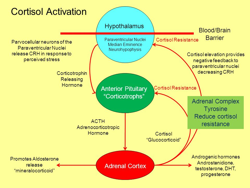 Cortisol Activation Hypothalamus Blood/Brain Barrier