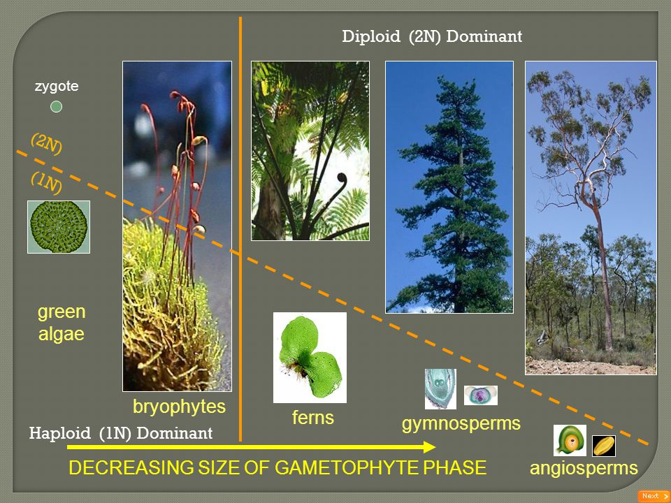 DECREASING SIZE OF GAMETOPHYTE PHASE angiosperms