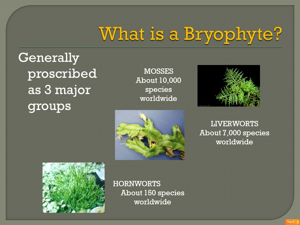 What is a Bryophyte Generally proscribed as 3 major groups MOSSES