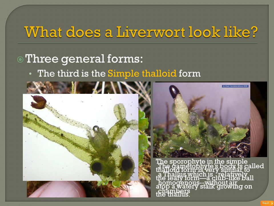 What does a Liverwort look like
