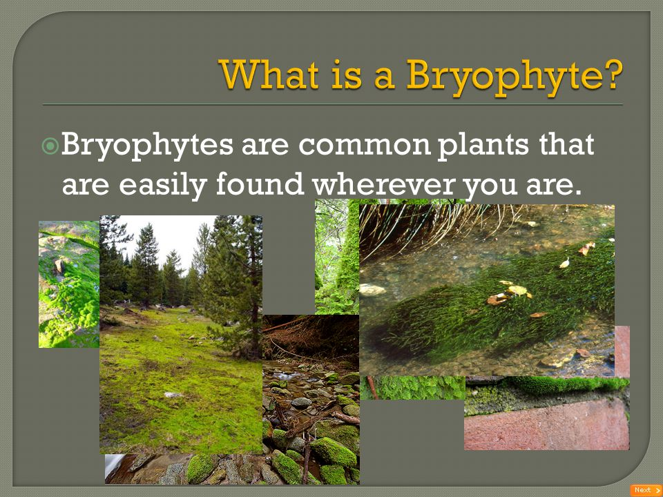 What is a Bryophyte Bryophytes are common plants that are easily found wherever you are.