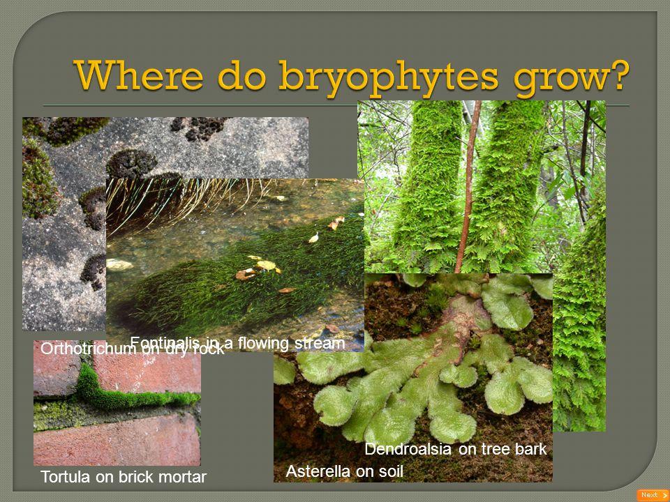 Where do bryophytes grow