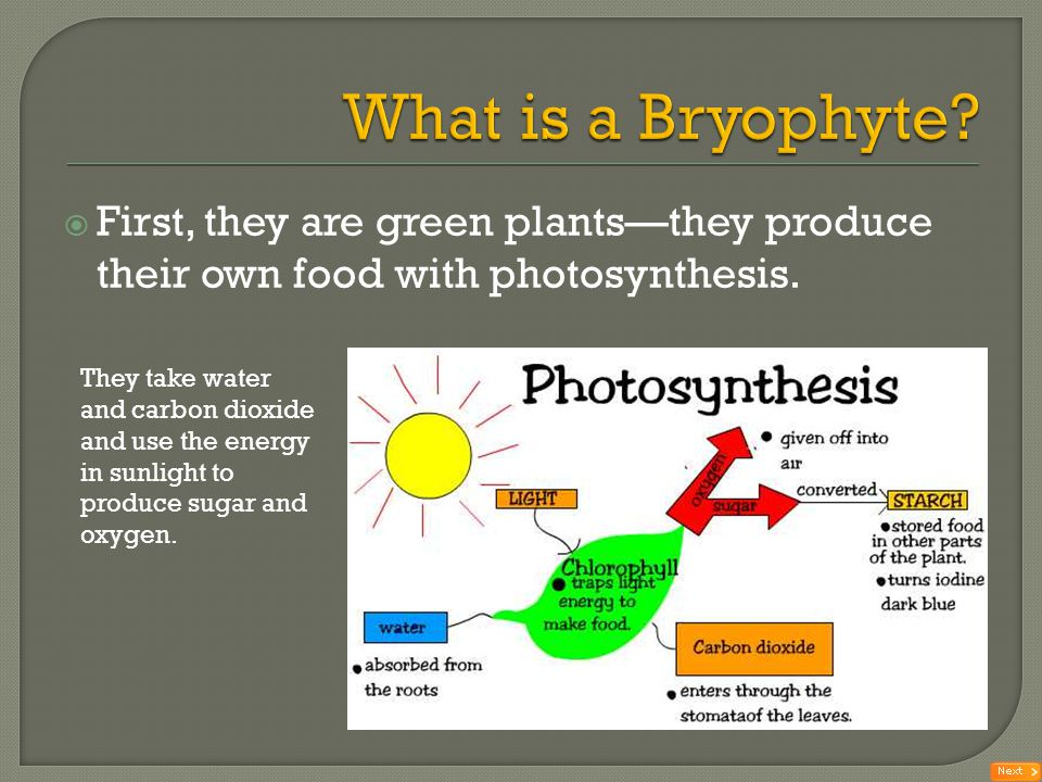 What is a Bryophyte First, they are green plants—they produce their own food with photosynthesis.