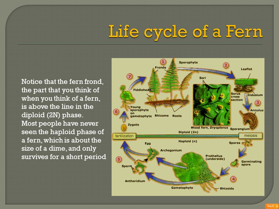 Life cycle of a Fern Notice that the fern frond, the part that you think of when you think of a fern, is above the line in the diploid (2N) phase.