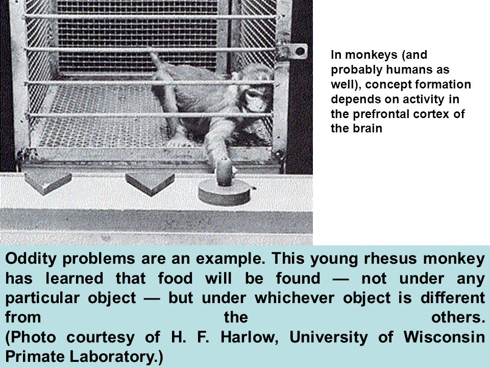 In monkeys (and probably humans as well), concept formation depends on activity in the prefrontal cortex of the brain
