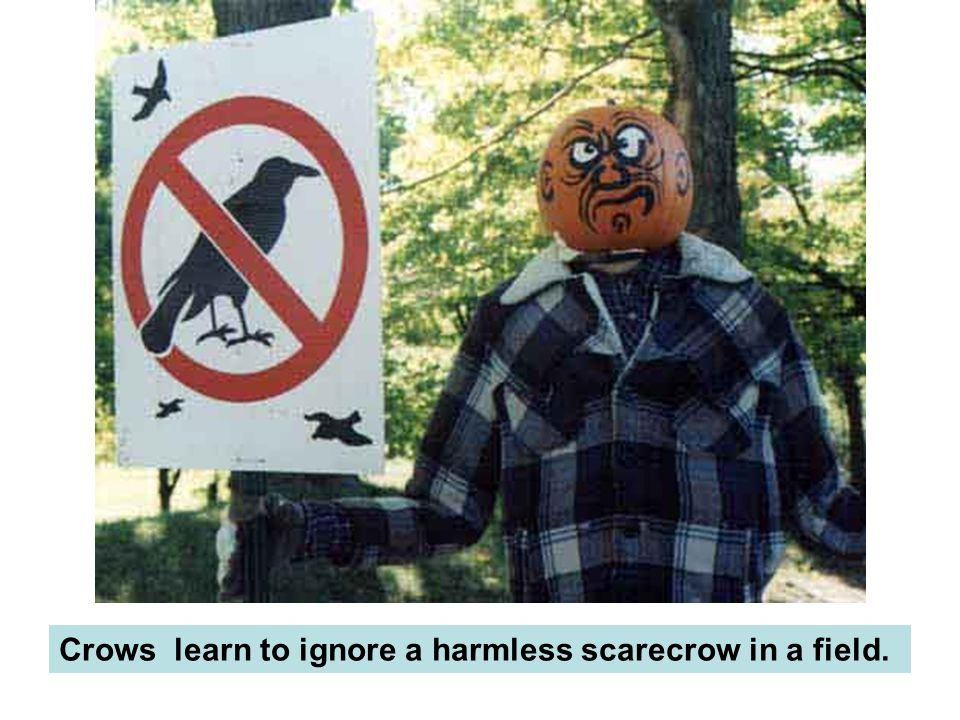 Crows learn to ignore a harmless scarecrow in a field.