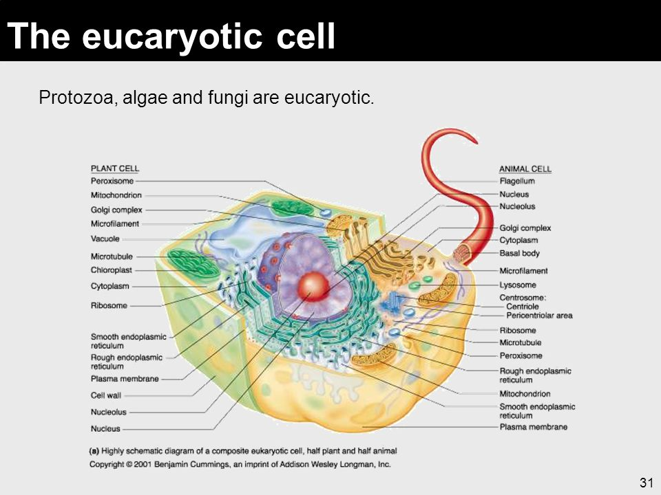 The eucaryotic cell Protozoa, algae and fungi are eucaryotic.