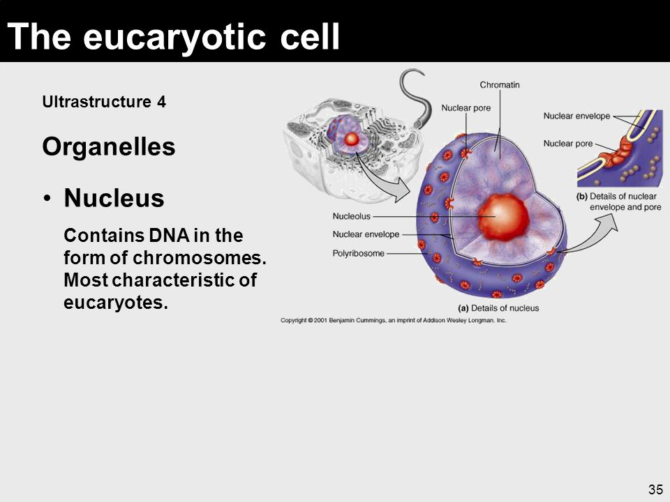 The eucaryotic cell Organelles