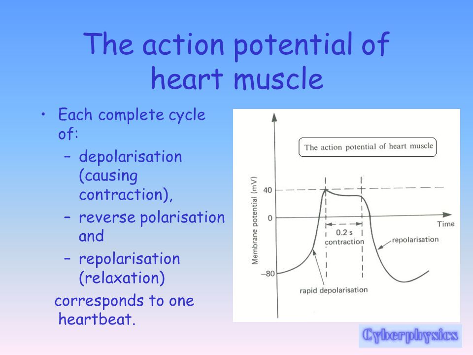 The action potential of heart muscle
