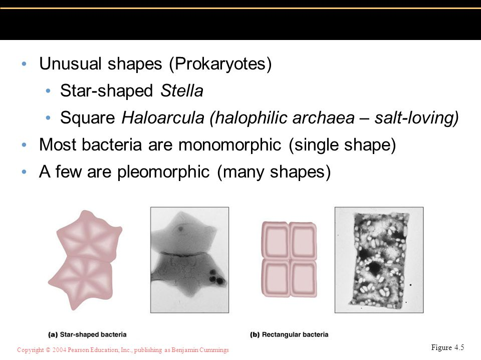 Unusual shapes (Prokaryotes) Star-shaped Stella