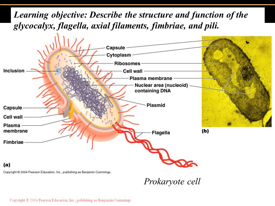 Learning objective: Describe the structure and function of the glycocalyx, flagella, axial filaments, fimbriae, and pili.