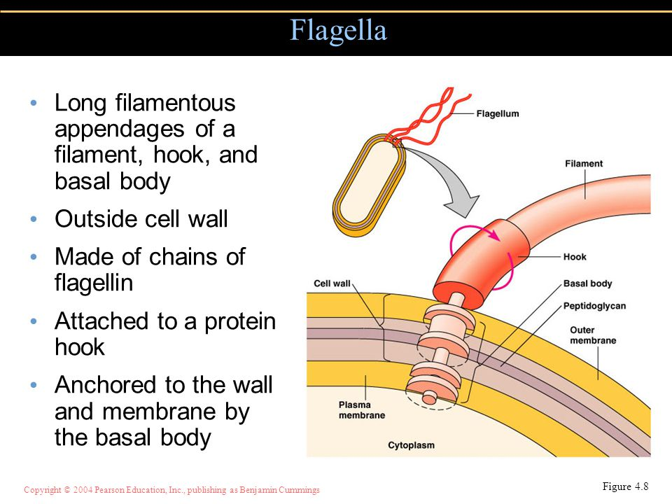 Flagella Long filamentous appendages of a filament, hook, and basal body. Outside cell wall. Made of chains of flagellin.