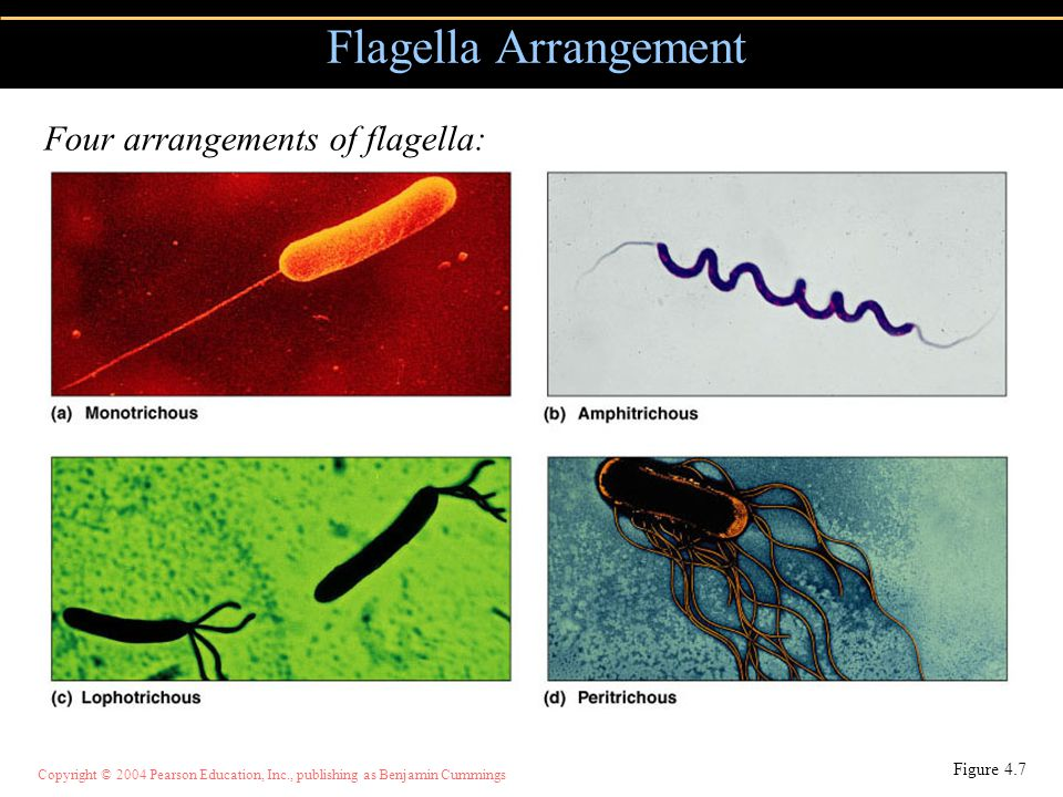 Flagella Arrangement Four arrangements of flagella: Figure 4.7