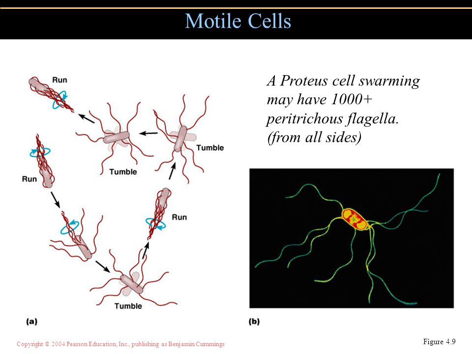 Motile Cells A Proteus cell swarming may have 1000+ peritrichous flagella.